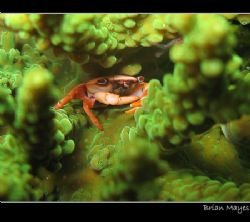 Tiny Red-dotted Coral Crab safe and secure from predators... by Brian Mayes